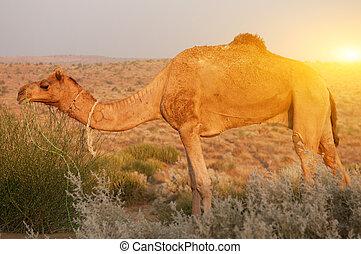 comida, camello