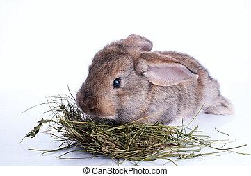 comida, encima, gris, heno, conejo, blanco