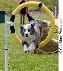 Tricolor Merle Border Collie jumping through a hoop