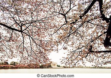 commémoratif, arbres, fleur, jefferson, cerise