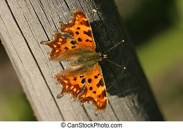 Comma (Butterfly) - Beautiful butterfly on a fence stake