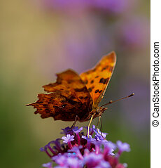 Comma butterfly, scientific name Polygonia c-album.