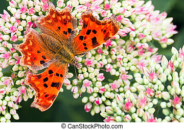 Orange Comma butterfly getting nectar from Sedum flowers in summer