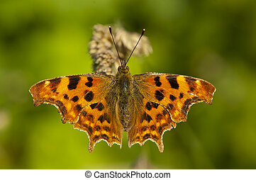 close up of english comma butterfly warming up with open wings in dorset county side
