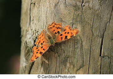 Comma Butterfly or Polygonia C Album on a piece of wood