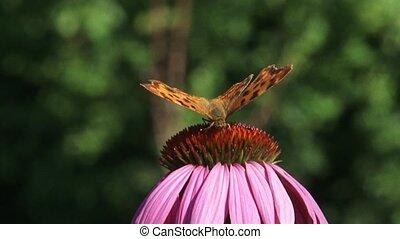 Comma butterfly (Polygonia c-album) echinacea purpurea - eye level + close up