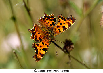 Comma Butterfly (Polygonia c-album) has a distinctive wing shape.