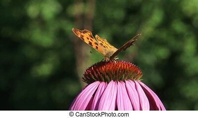 Comma butterfly (Polygonia c-album) on Purple coneflowerclose up + eye level