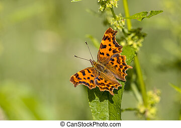 Comma butterfly (Polygonia c-album) perched on leaf in afternoon sun with green background. Brummen, Gelderland, The Netherlands.