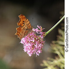 comma butterfly resting on a violet flower head in blurry back