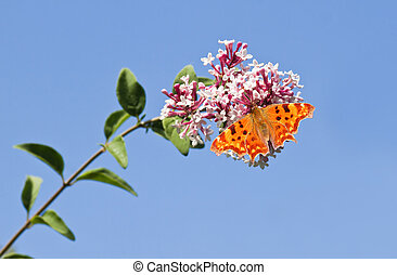 Comma butterfly feeding on Syringa flowers with blue sky background