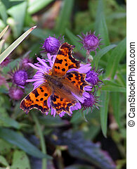 Comma feeding (poygonia c-album)