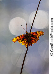 Comma (Polygonia c-album) perched on a grass stem