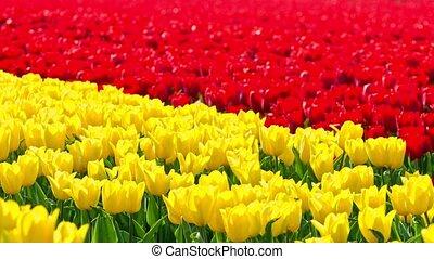 commercer, tulipes, business