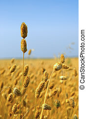 Commercial Canary Seed Crop