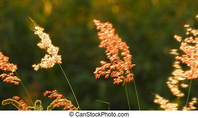 Commercial license Red wild flower Movements in the wind - video HD