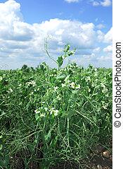 Commercial Pea crop