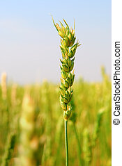 Commercial Spring Wheat Crop