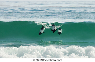 Commerson's dolphins diving in blue water