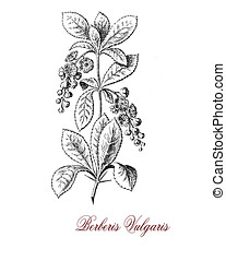 common barberry shrub, old print - Vintage engraving of...