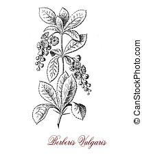 common barberry shrub, old print