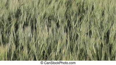 Common barley in the afternoon live video