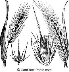 Common barley or Hordeum vulgare, Barley hinge or Hordeum distichum, vintage engraved illustration. Trousset encyclopedia (1886 - 1891).