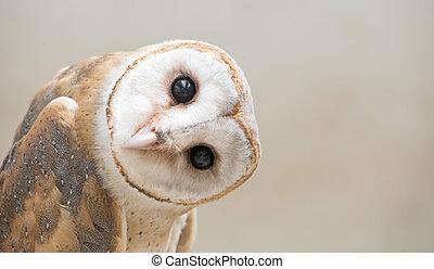 common barn owl ( Tyto albahead ) close up - common barn owl...