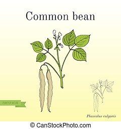 Common bean Phaseolus vulgaris , or string bean, field bean,...