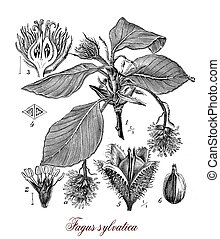 Vintage print describing common beech or beech botanical morphology: deciduous large tree grows up to 50 m (160 ft). in height and 3 m (9.8 ft) , its lifespan is normally 150–200 years. Leaves are alternate, the female flowers produce beechnuts.