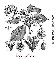 Common beech,botanical vintage engraving