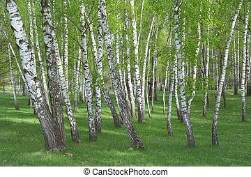Common birch, Betula pendula forest in spring