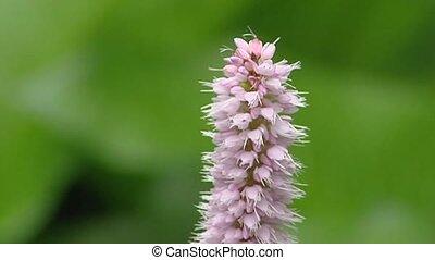 Common Bistort  (,Persicaria bistorta) in bloom close up