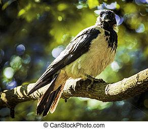 Common black bird