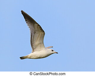 Common Black-headed Gull in flight