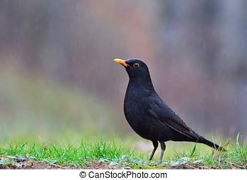 Common blackbird in the rain - Common blackbird perched on ...