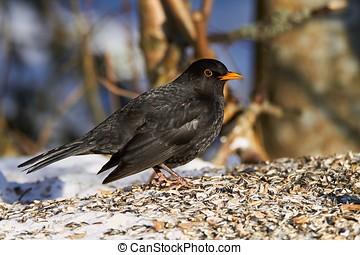 Common Blackbird in the winter