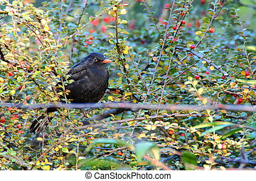 common blackbird male