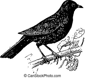 Common Blackbird or Turdus merula, vintage engraving -...