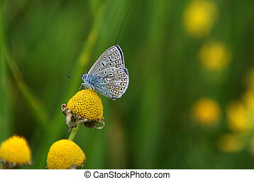 Common Blue (Polyommatus icarus) on Mayweed. The butterfly has rich markings underside the wings. Soft focus.