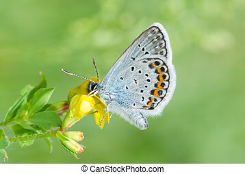 Common Blue butterfly on a wild flower at spring
