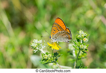 Common Blue butterfly on a wild flower at summer season