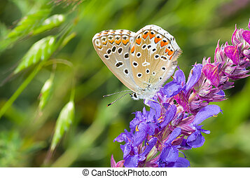 Common Blue butterfly on a wild sage at summer season