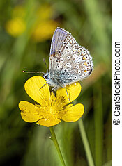 Common Blue butterfly (Polyommatus icarus) with its wings folded which is a spring summer flying insect on a yellow meadow flower, stock photo image