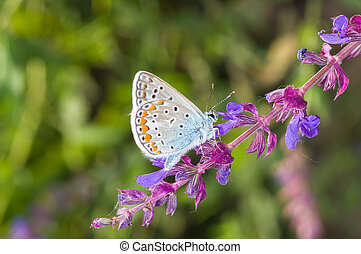 Common Blue butterfly searching nectar on a wild sage
