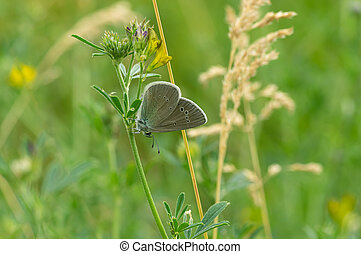 Common Blue butterfly sitting on a blade of wild pea flower
