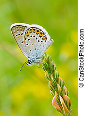 Common Blue butterfly sitting on a wild flower