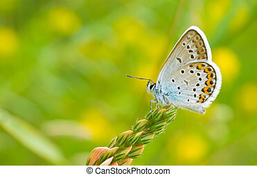 Common Blue butterfly sitting on a wild flowers against summer motley background