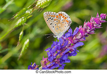 Common Blue butterfly sitting on a wild sage at summer season in Ukraine