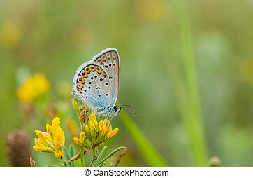 Common Blue butterfly sitting on a wild yellow flowers
